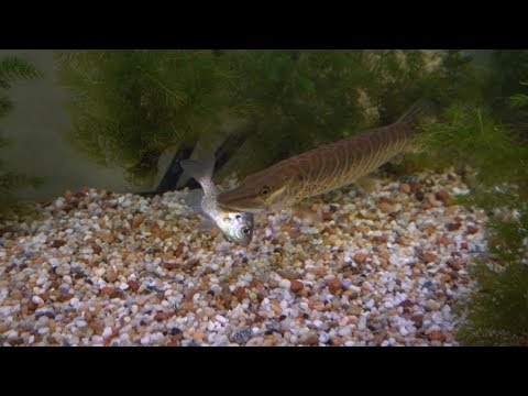 Micro Fishing For Pet Musky Food - CRAZY Eat!