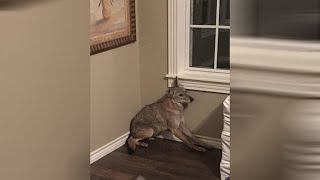 Download Woman wakes up to coyote in her bedroom Video