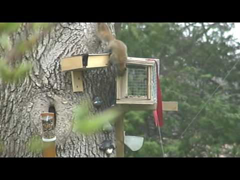 How to catch a red squirrel part two
