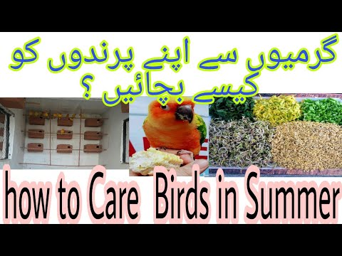how to take care birds and budgies parrots in summer- n summer how to take care our birds urdu hindi
