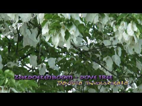 Dove tree, Handkerchief Tree - Vaantjesboom