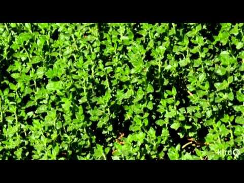 How prune overgrown shrubs |Daphne Richards |Central Texas Gardener