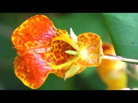 Jewelweed Remedy for Poison Ivy