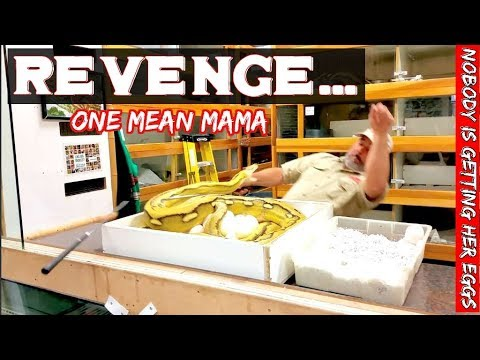 Giant Reticulated Python Gets Revenge while guarding her eggs. pt2