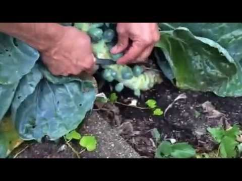 How to Harvest Brussels Sprouts