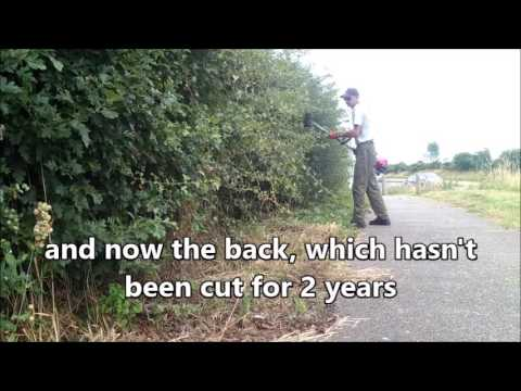 trimming hawthorn hedge down foot path