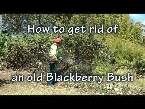 How to get rid of blackberries