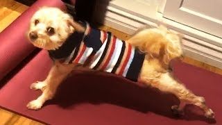 Cute and Funny Dogs Doing Yoga!! 🐶