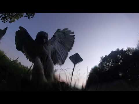 Falconry Trapping 9-4-17