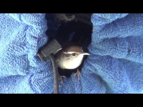 Wrens Nesting, Feeding Babies in My Surfboard Sock