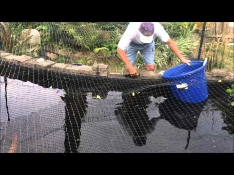 How to build a Koi Fish Trap
