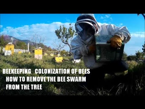 BEEKEEPING COLONIZATION OF BEES HOW TO REMOVE THE BEE SWARM FROM THE TREE