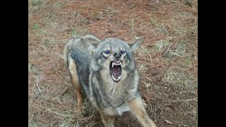 Download Barking Coyotes Video