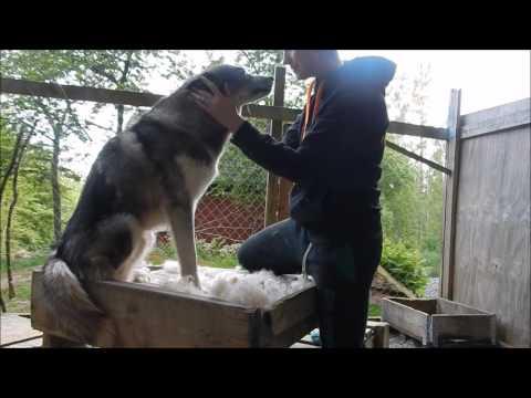 Siberian husky shedding..