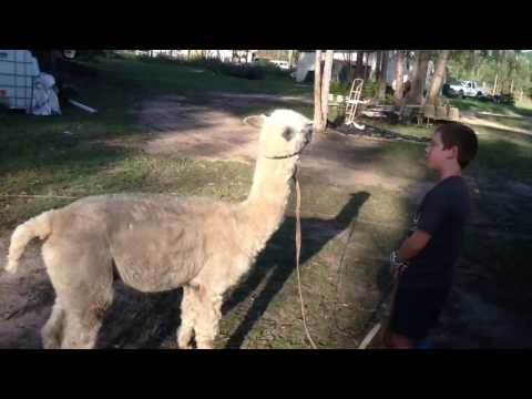 How to start an alpaca!