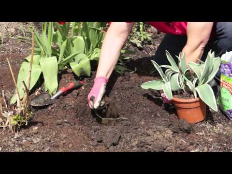 How to Transplant Tulips From Pot to Flower Bed : Grow Guru