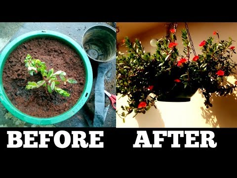How to grow and get more flowers on purslane/portulaca (Beginning till end) || Office Time