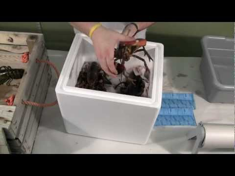 Costco Live Lobster Video