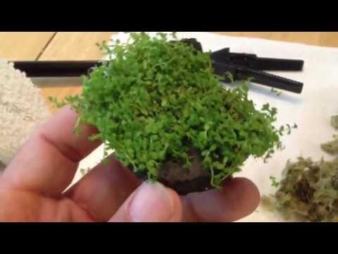How To: Hemianthus Callitrichoides (HC) dwarf baby tears
