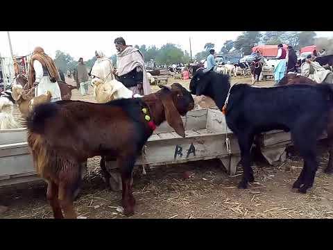 Goat farming feasibility in Urdu/ Hindi / Qurbani k Bakray palna / Goats for Eid ul Azha