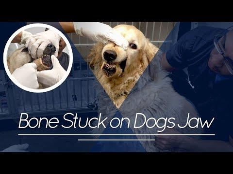 Golden Retriever gets Dog Bone Stuck to Jaw