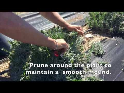 How to prune lavender plants in spring