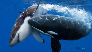 Killer Whale Attack ( Documentary )