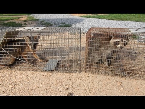Trapping Critters for Catch and Release Using Live Traps