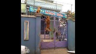 Dog Climbing a Gate || ViralHog