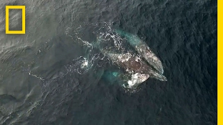 Rare Video: Whales Engage in Three-Way Mating Ritual | National Geographic