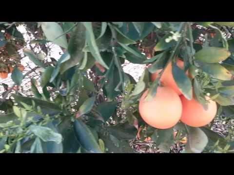 Orange Tree Diseases Leaf Curl Mesa AZ 480 969 8808 Warner's Tree Surgery