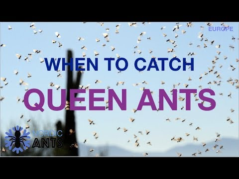 WHEN TO CATCH A QUEEN ANT | Schedule, species and how to identify them!(Europe)