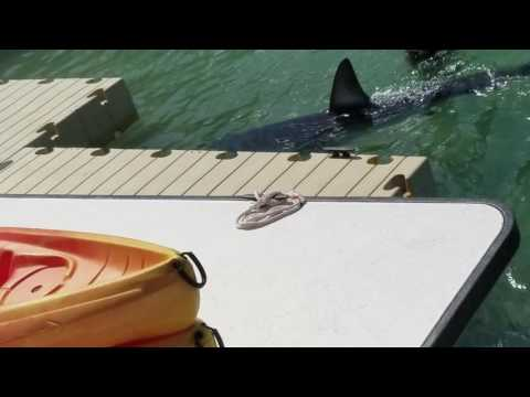 BIG MAKO SHARK SITED AT HAWKS CAY MARINA FLORIDA KEYS!!!!!
