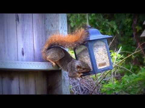 Squirrel and Hummingbird eating from bird feeder