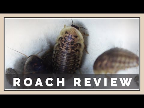 DubiaRoaches.com Review | Insect Unboxing