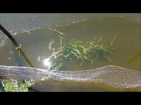 Planting wild celery in the Pond