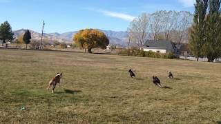 4 Pit Bulls having a blast at the park!!