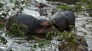 Hippo poops on another hippo