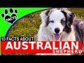 Dogs 101: Australian Shepherd (Aussie) Interesting Facts Information - Animal Facts