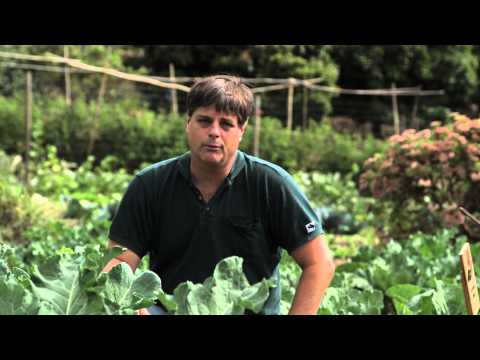 Natural Control for Cabbage Maggots : Cabbage Gardening