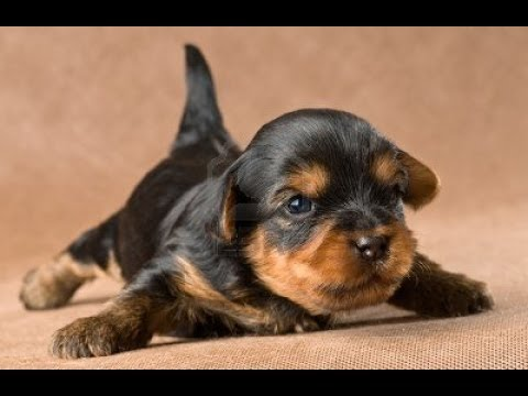 Yorkie Puppy Crying
