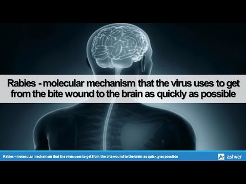 Rabies - molecular mechanism that the virus uses to get from the bite wound to the brain as quickly