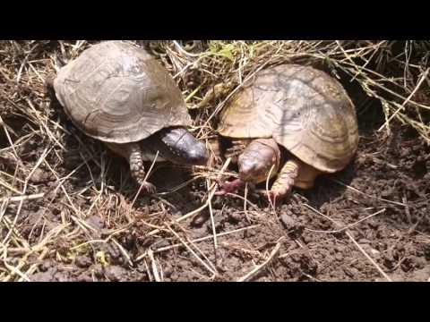 Tree toed box turtle wild life part 1
