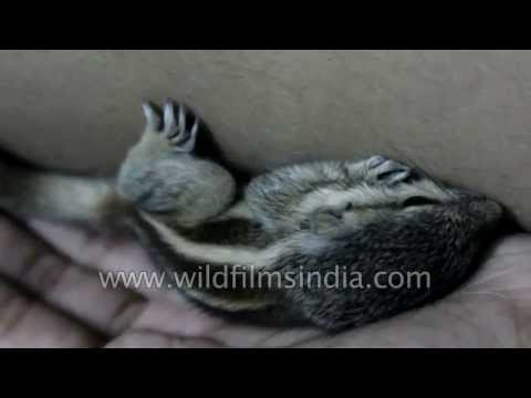 Feeding time and then nap time for our baby pet squirrels!