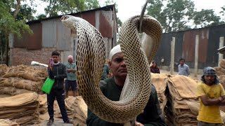 Venomous Cobra Snake Rescue From: Manjuri Road, Bhandaripokhari, Bhadrak, Odisha, India