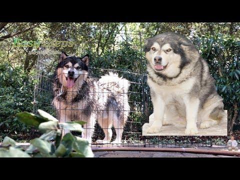 Hot Summer Day - Sheru & Bruno Enjoying The Shower | Alaskan Malamute | German Shepherd