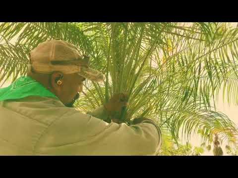 How I prune a roebelenii palm ( Pygmy date palm )