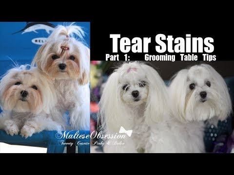 TEAR STAIN OBSESSION Part1 Grooming Table Tips for Cleaning Tear Stains in Maltese Dogs 말티즈 미용