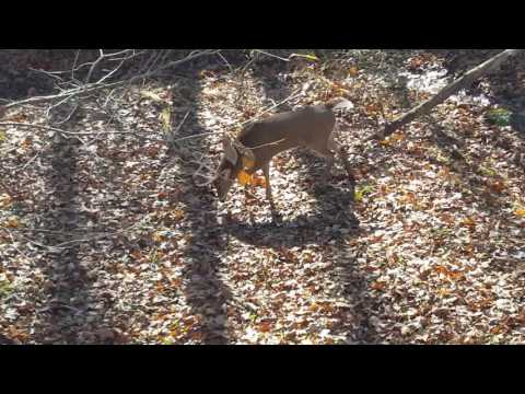 Young IL whitetail