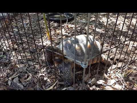CA Desert Tortoises Roaming Around.